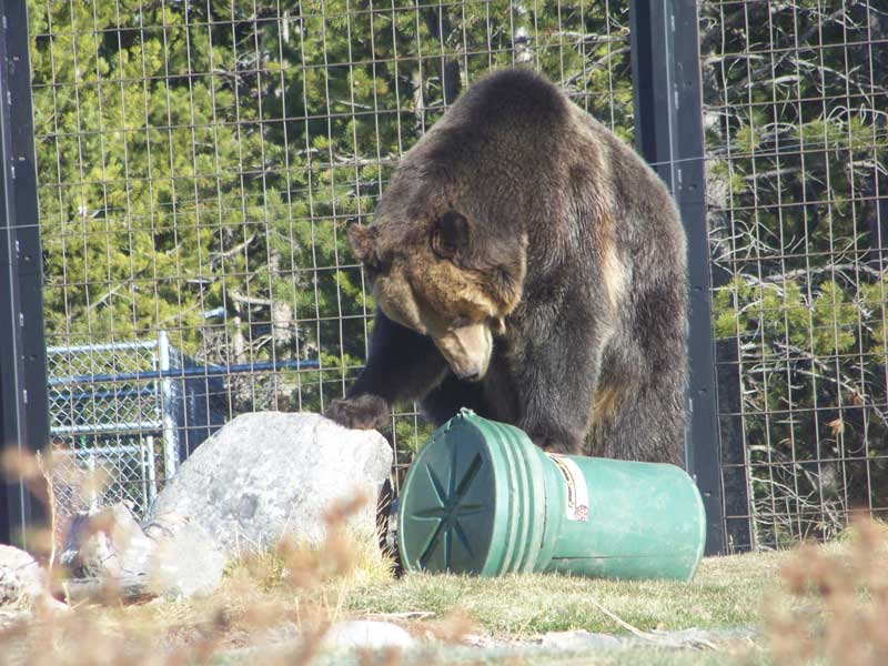 Grizzly Bear with bear proof container