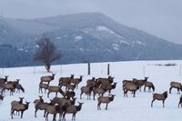 elk winter PS