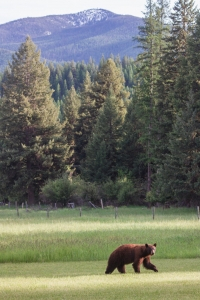 Black Bear with Stark Mountain in background